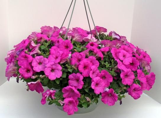 Bixby flower basket florist in bixby oklahoma ok flowers in hanging petunia basket from bixby flower basket in bixby oklahoma click here for larger image mightylinksfo