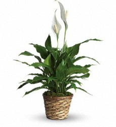 Beautiful Peace Lily from Bixby Flower Basket in Bixby, Oklahoma