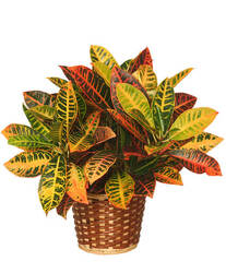 Croton Plant from Bixby Flower Basket in Bixby, Oklahoma