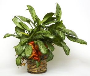 Dieffenbachia from Bixby Flower Basket in Bixby, Oklahoma